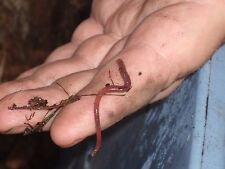 One Pound (1000+) Live Red Worms, Red Wigglers, Composters, Organically Raised