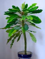 Euphorbia leuconeura (Madagascar Jewel) - 10 seeds - Cacti, Exotic - Scarce seed