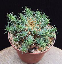 Ariocarpus Cactus & Succulent Plants