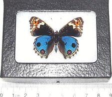 Real Framed Butterfly Japanese Junonia Orithya Blue Buckeye Male