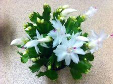 White Schlumbergera plant. Christmas Cactus/Zygocactus. House Plant.