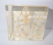 East Asian Bullfrog Skeleton Amber Square Block Education Real Animal Specimen