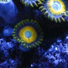 Scrambled Eggs Zoa Single Polyp Frag For Marine Saltwater Reef Aquarium