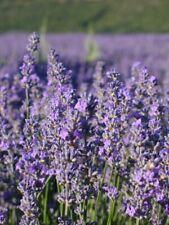 Huile essentielle 100% pure et naturelle de LAVANDIN GROSSO (France) 10 ml