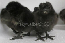 6+ Svart Hona (Swedish Black Hen) Fertile Hatching Eggs World's Rarest Chicken!