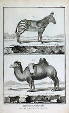 Zebra Dromedar Zebre Dromadaire Dromedary Afrika Höcker Ägypten Pyramide Egypt