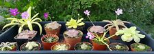 Carnivorous plants: Pinguicula collection
