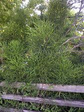 """Bleistift Kaktus (Euphorbia Tirucalli) 5 Clippings (ca. 6-8"""") Kohlen Filter"""