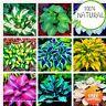 Hosta Bonsai Perennials Seeds Plants Ain Lily Flower White Lace Rare 200pcs/bag