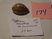 Cypraea annettae Mexico data 27mm #174