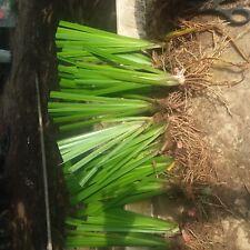 New listing Water Garden, Bogs Plants 10 Large Mature Mature Yellow Iris Plants,Best Price!
