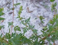 Common Ragweed (Ambrosia artemisiifolia) ✤ 100 Seeds
