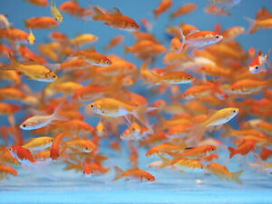 45+ Live Fish Goldfish (SMALL)GUARANTEE ALIVE And FREE FAST SHIPPING