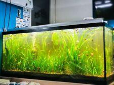 6 Italian Val Grass Aquarium Plants