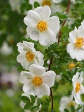 Wild Rose /PIMPINELLIFOLIA / 20- Seeds / For Hedges / Nice & Aromatic Bush*