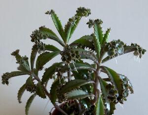 2 Kindel Kalanchoe houghtonii, Brutblatt, Sukkulent, Bryophyllum, Sukkulent Exot