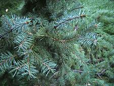 Picea asperata DRAGON SPRUCE Seeds!