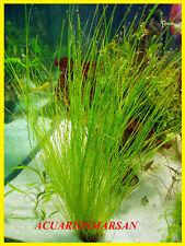Planta de acuario, gambario. ELEOCHARIS ACICULARIS