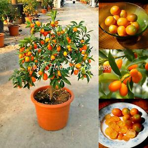 6 SEEDS Dwarf Kumquat Nagami Fortunella Margarita for Pots Patios UK EU Seller