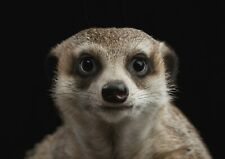 A1| Cute Meerkat Poster Print Size 60 x 90cm Wild Animal Poster Gift #15876