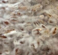 Shiitake mushroom (Lentinula enodes) 1lb Grain Spawn