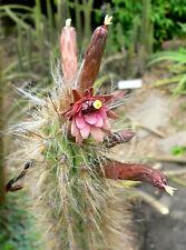 Oreocereus Fossulatus(5-1000 SEEDS)Very Rare Cactus Succulent Plant Samen Korn