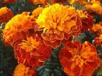 Marigold Aurora Red  - Tagetes patula nana fl. pl. - 350 seeds
