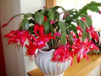 2  Red Christmas Zygo cactus Schlumbergera rooted cutting