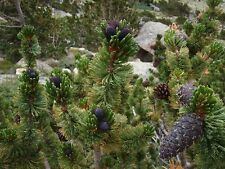 Bristlecone Pine Tree Seeds, (Pinus  aristata), 15 seeds