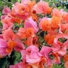 MRS LOUIS WATHEN Bougainvillea buttiana orange to rose-pink flowers plant 140mm