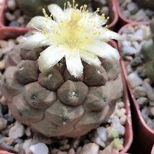 Copiapoa Hypogaea Barquitensis Rare Cactus Succulent Plant