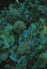 Vegetable - Kings Seeds - Pictorial Packet - Calabrese - Green Sprouting