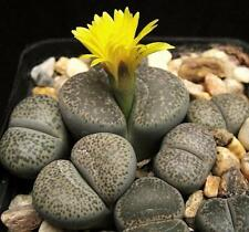 Lithops Terricolor, rare mesembs exotic succulent living stones cactus 50 Seeds