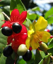 Ochna serrulata Mickey Mouse Bird's Eye Bush 5 seeds