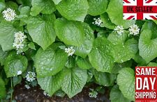 Wasabi (Eutrema Japonicum) 15 fresh seeds Make your own sauce. Same Day Dispatch