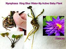 Active Baby Plants Nymphaea King Blue Water-Lily Free Shipping