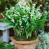 100Pcs Convallaria Majalis Lily Flower Seeds Bonsai Garden Balcony Roof Plants