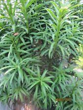 Taxus baccata Wilco Green - Gemeine Eibe Wilco Green