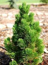 Pinus nigra Springarn in 7cm pot ideal bonsai subject grafted