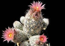 Escobaria sneedii @ cacti rare exotic cactus collection collector seed 100 SEEDS