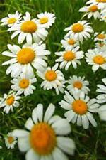 German Chamomile Seed, Heirloom, Organic, NON-GMO, 500 Seeds
