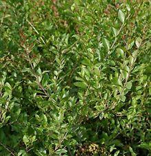 1000+ Seeds Henna plant Lawsonia inermis Dye Plant Mehandi Shrub Seeds