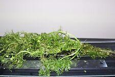 Hygrophila difformis Wisteria, large 8 inch and smaller, 10 aquarium plants
