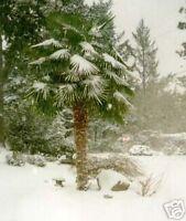 die winterharte chinesische HANFPALME: schön im Garten