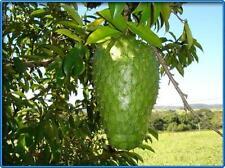 10 Sedds SOURSOP Graviola Guanabana Annona muricata SEEDS FromThailand.