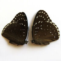 collection PAIR unmounted butterfly Nymphalidae Stibochiona nicea  CHINA #460