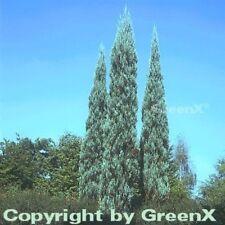 Raketenwacholder Skyrocket 100-125cm - Juniperus scopulorum