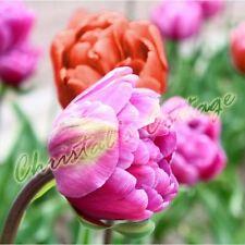 Tulpen Zwiebeln 8 Gemischt Herbst garten Frühling Blume Knolle Mehrjährig