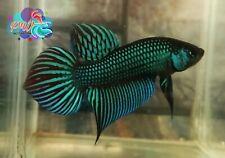 LIVE BETTA FISH MALE GREEN MAHACHAI PHO TAIL WILD TYPE (WT53)