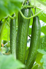 VEGETABLE  CUCUMBER  CARMEN F1 (GREENHOUSE) 5 SEEDS  ALL FEMALE